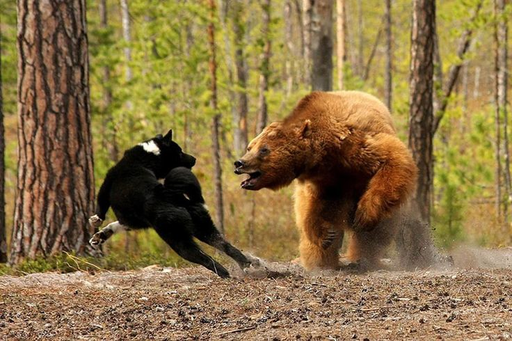 Can A Grizzly Bear Out Run A Dog