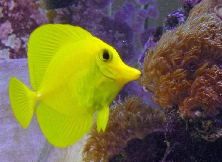 Yellow tang saltwater my 180 saltwater tank for Yellow fish tank water