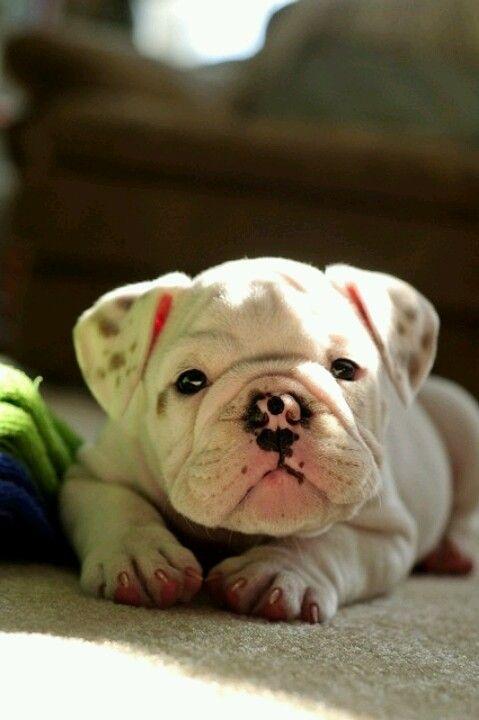 Little Baby English Bulldog! !!