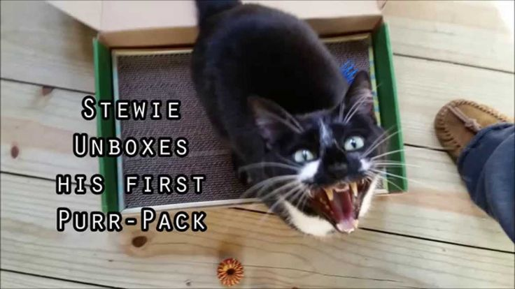 Stewie the Cat Unboxing his First PurrPack Cats, Cute