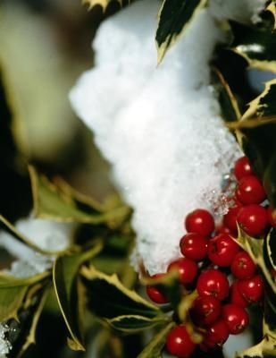 When to Prune Holly Shrubs