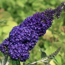 Buddleja davidii Adonis Blue  (aka: butterfly bush)