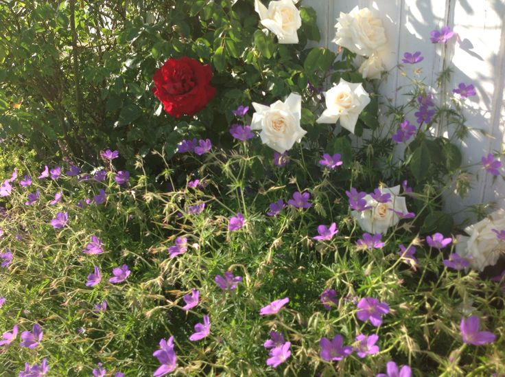 Rosebedet 1 juli