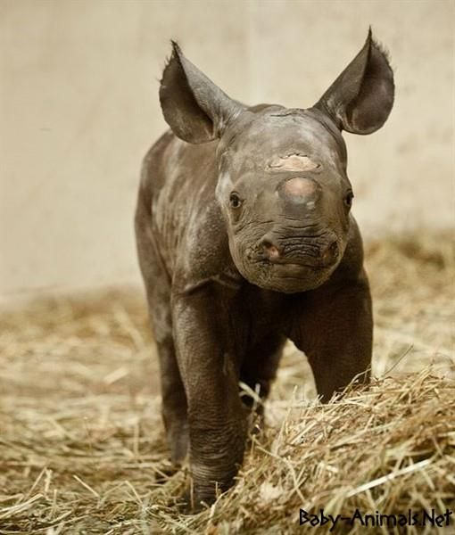 Baby rhino pictures    #rhino  #babyrhino  #cuterhino  #littlerhino  #sweetrhino  #funnyrhino  #cutebabyrhino  #sweetbabyrhino  #babyanimals  #cuteanimals  #littleanimals  #sweetanimals #yavruhayvanlar  #bebekhayvanlar