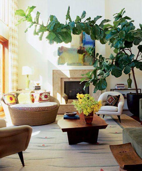 Figueira Lira, planta ornamental para cuidar no interior de sua casa – 99 Graus