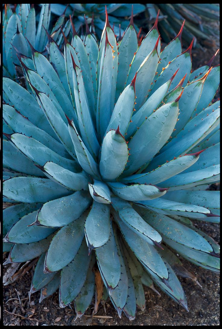 12 Best Agave Tattoo Images On Pinterest Agaves Tattoo Ideas And Food Items