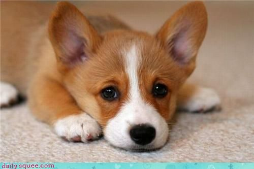 welsh corgi: Pet,  Pembroke Welsh Corgi, Dogs Problems, Corgi Puppies, Funny Stuff, Things, Dogs Pictures, Funny Animal, I'M