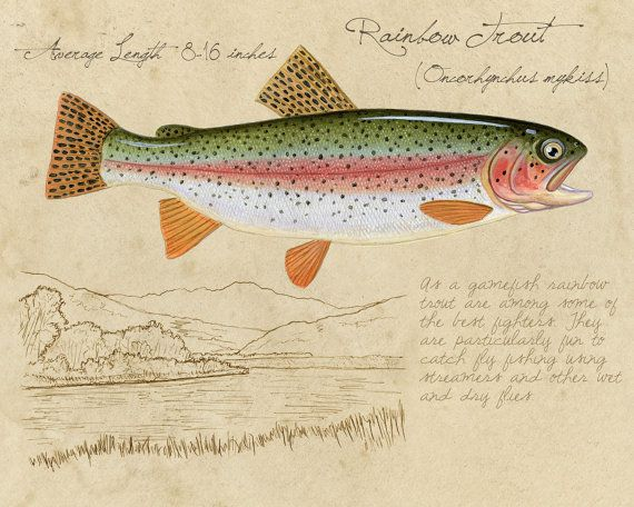 Rainbow Trout - 8x10 inch limited edition giclee print by Matt Patterson, trout print, fishing art print, natural history, cabin decor