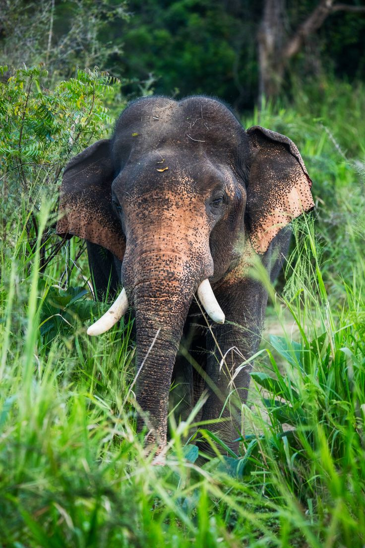 Asia Elephant  Impressive Encounter With This Beautiful Male And Prominent  Tusks Asian Elephants Are