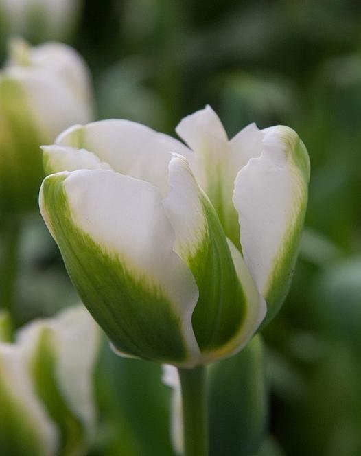 Tulip 'Twilight Princess'