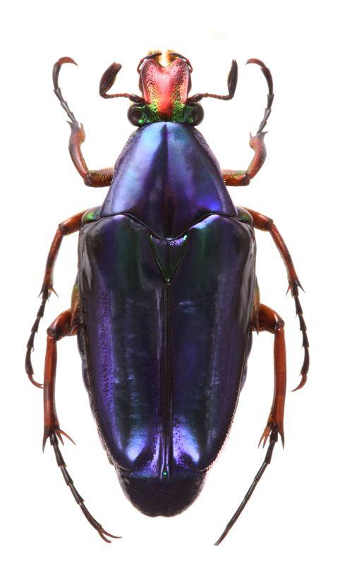 Chalcothea resplendens, different color