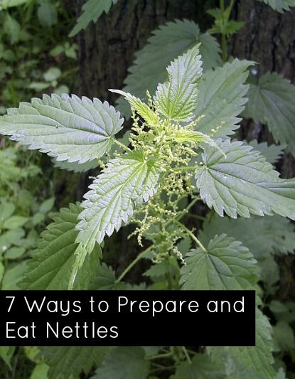 7 Ways to Prepare and Eat Nettles. Don't be fooled; this thing bites. Photo by Uwe H. Friese
