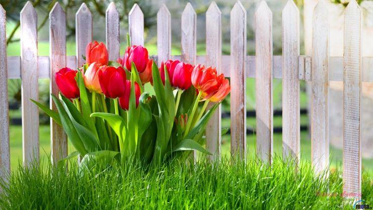 Красивые картинки на рабочий стол 1.64   Тюльпаны ...