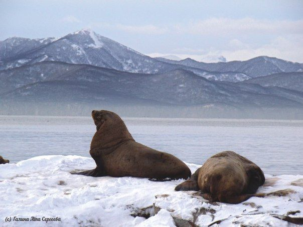 #kamchatka #russia #wildnature #камчатка #sealion vk.com/okamchatka