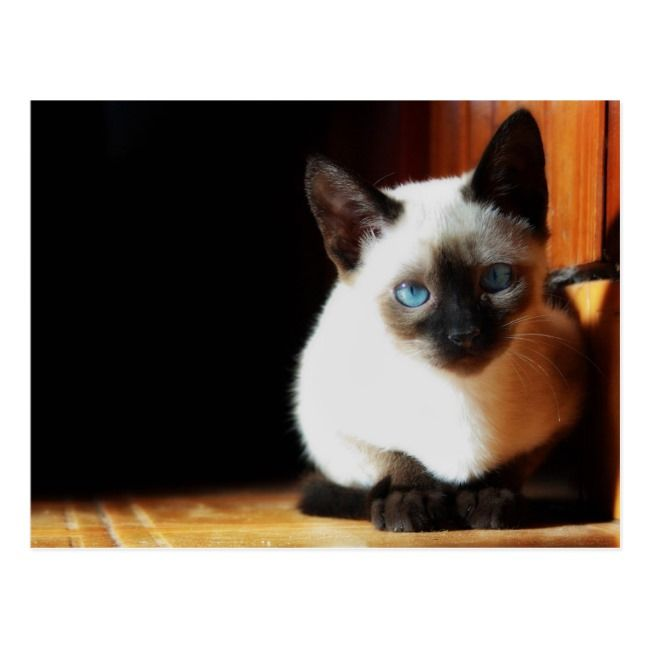 Siamese Kitten Postcard Cat Kitten Kitty Siamese Breed