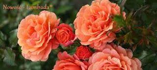 Bazar Radości : Róże i ich właściwości magiczne.