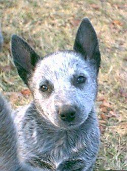 Stumpy Tail Australian Cattle Dog | Australian Stumpy Tail Cattle Dog puppy | Best dogs in the world