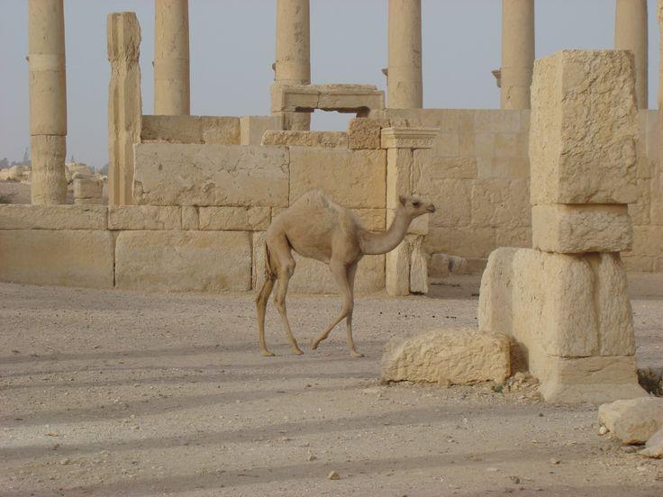 Baby camel at the Roman ruins of Palmyra, Syria, 2009.