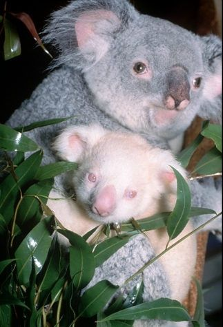 Ten-month-old Onya-Birri, the only albino koala in captivity with his mother, Banjeeri, at the San Diego Zoo.