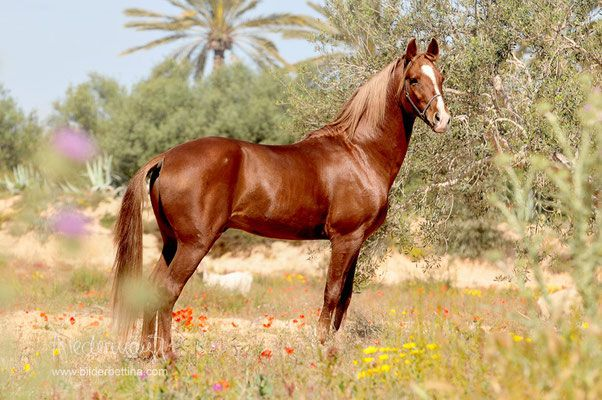 Berber Stallion Bambi.