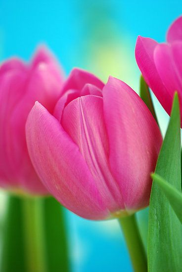 New Pink Tulips