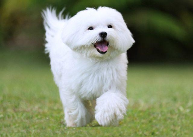 Kleine Hunderasse Malteser