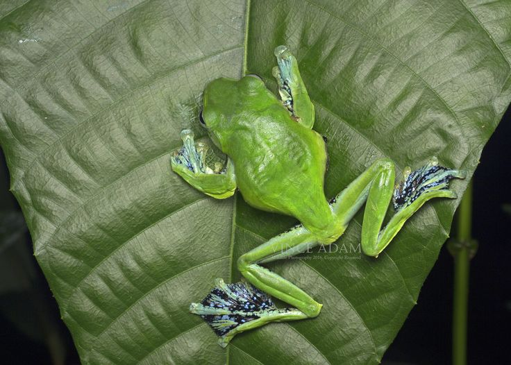 https://flic.kr/p/DwDSfk   IMG_1651-0(W)C Norhayati's Flying Frog (Rhacophorus norhayatii)   Location: Malaysian Rainforest