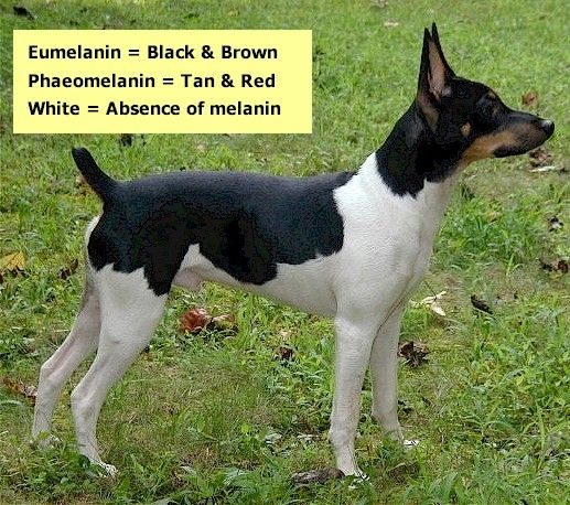 coloring pages of rat terriers - photo#34