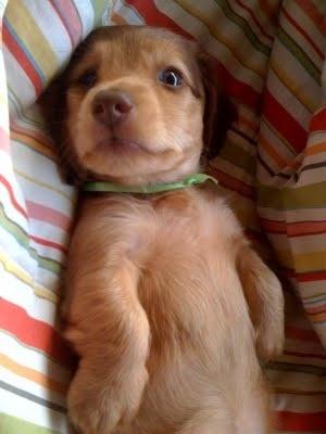 Georgie - our beloved dachshund pup! belgianwaffleBeloved Dachshund, Puppies, Dogs, Cutie Dachshund, Beloved Pup, Georgie, Dachshund Pup, Adorable, Pets Animal