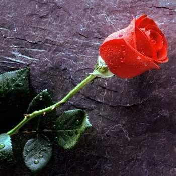 Un cierto hombre plantó una rosa y la regó fielmente y antes de que floreciera, la examinó. Vio que el capullo pronto florecería, pero notó espinas en el tallo y pensó: