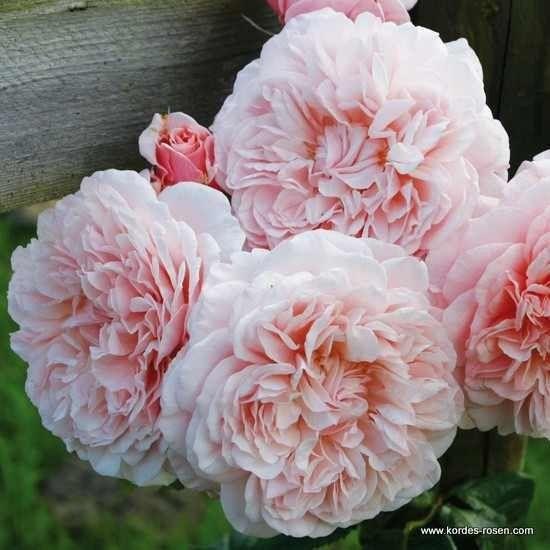 Rose de Tolbiac ®