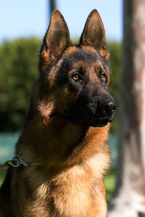 Alman Kurdu - Alman Çoban Köpeği - German Shepherd http://www.almankurdu.com