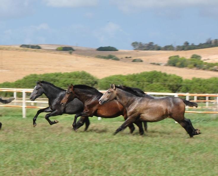 Caballos andaluces. / Andalusian Horse. #animals #caballos #horse