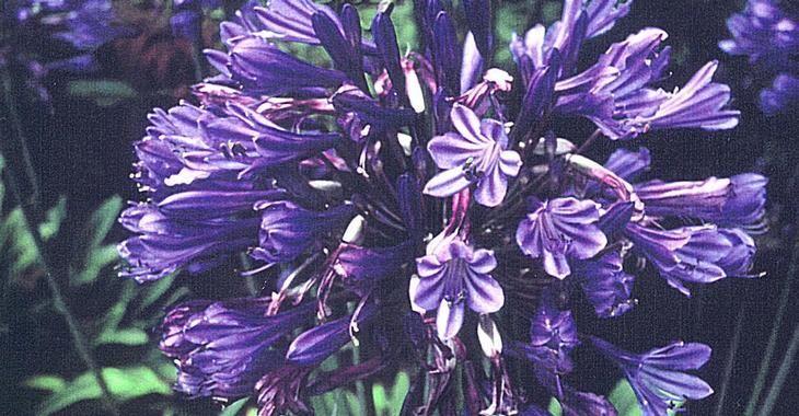 Agapanthus 'Black Pantha' PBR (Funnel-Group)