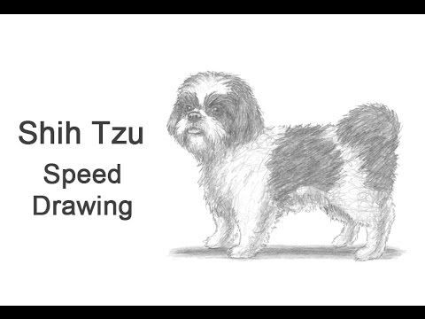 Shih Tzu Dog Time-lapse (Speed) Drawing - YouTube | How to