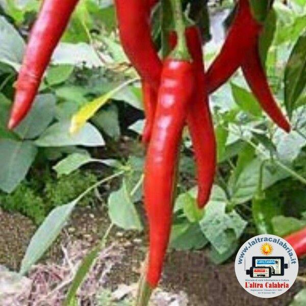 Calabria, una delle tante specie di peperoncino piccante
