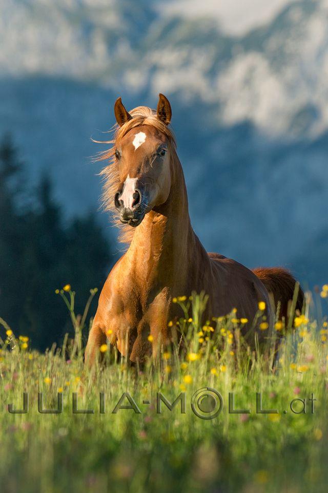 arabisches vollblut vollblutaraber edle pferde araber portrait