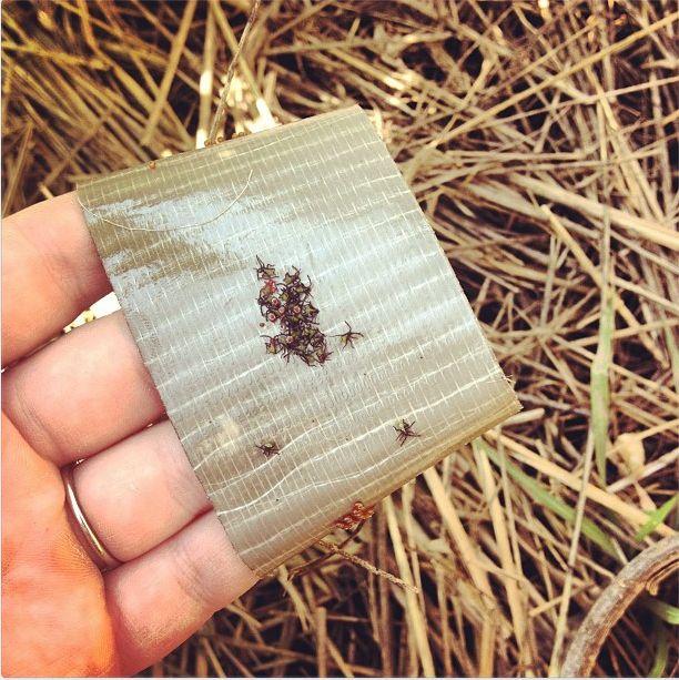 Utiliser ruban adhésif pour piéger puces et punaises des courgesSquash Bug Eggs, and Nymphs - brilliant and very effective.
