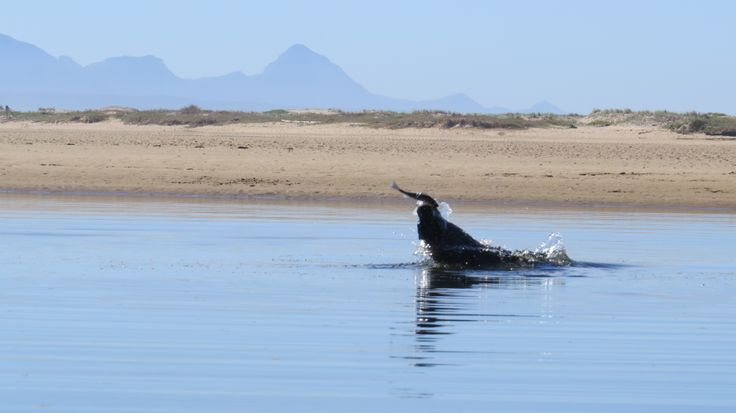 Seal hunting for fish IN the Keurbooms Lagoon in Plettenberg Bay.