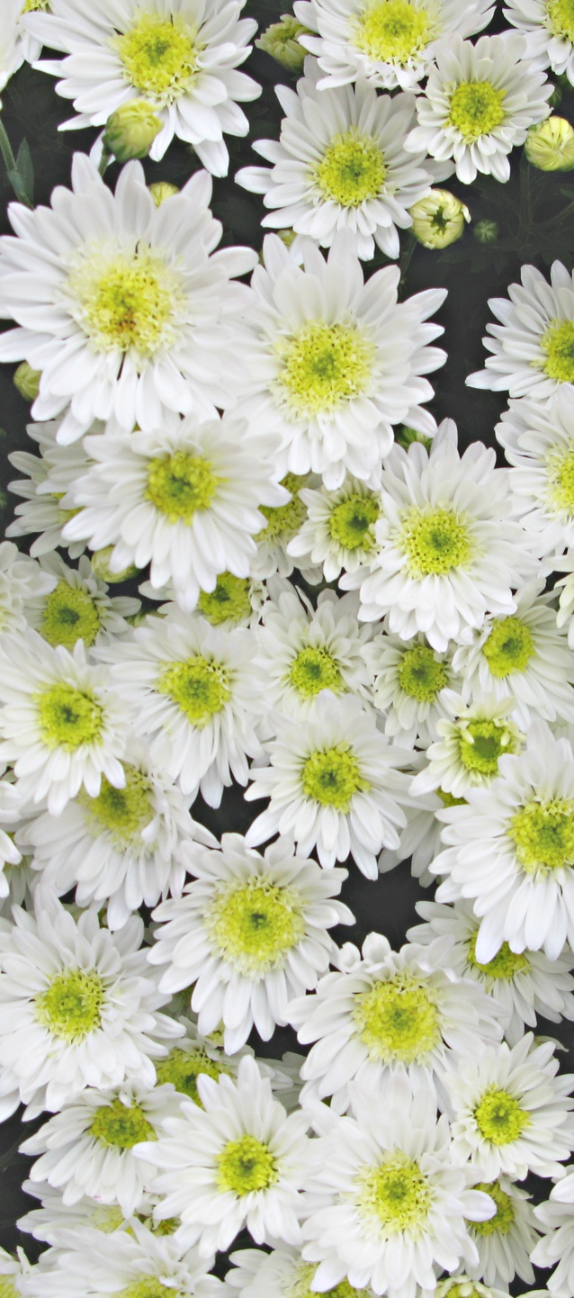 4301 best flower images on pinterest flowers plants and flowers chrysanthemum dhlflorist Choice Image