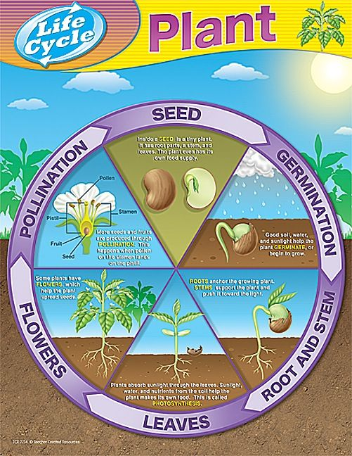 Plant Life Cycles Chart simple and easy for kids to understand as they grow their first seeds.
