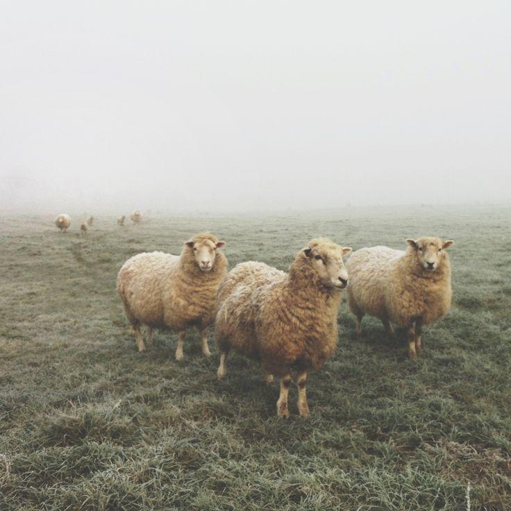 Ewes in the fog (Instagram @benjaminhole)