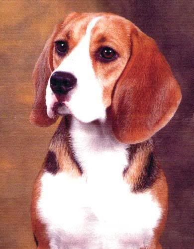 Beagles   beagles
