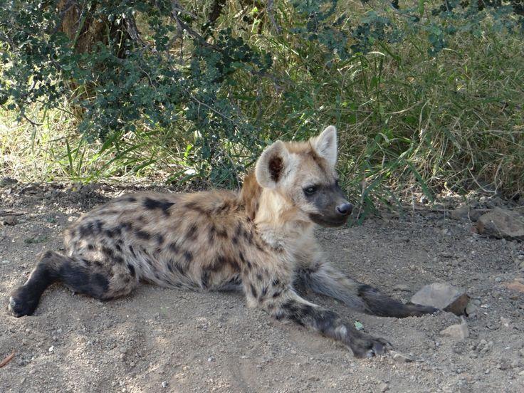 Hyaena Pup