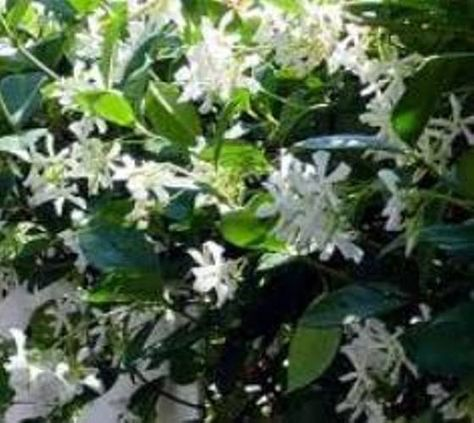 confederate jasmine fragrant vine backyard plantshouse