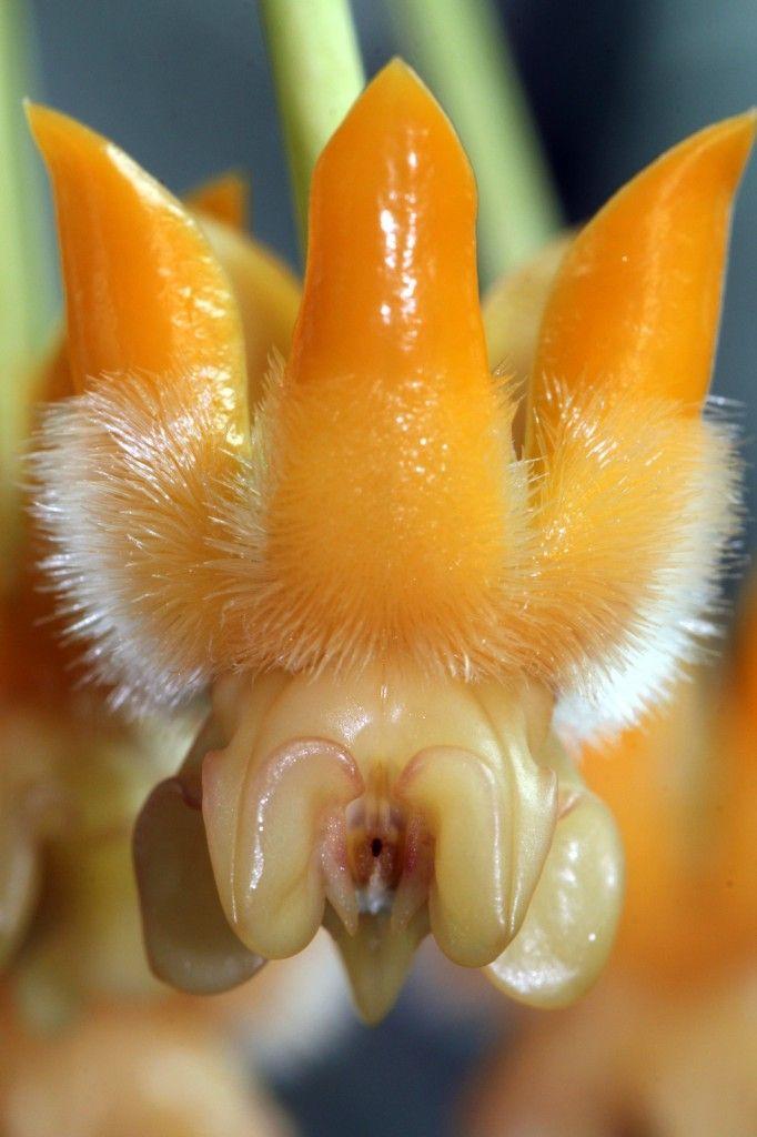 Hoya lasiantha (Close Up)
