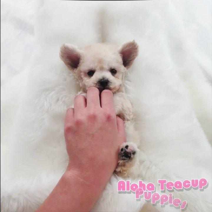 Everyone Meet Tiffany Teacup Size Light Cream Poodle Here She
