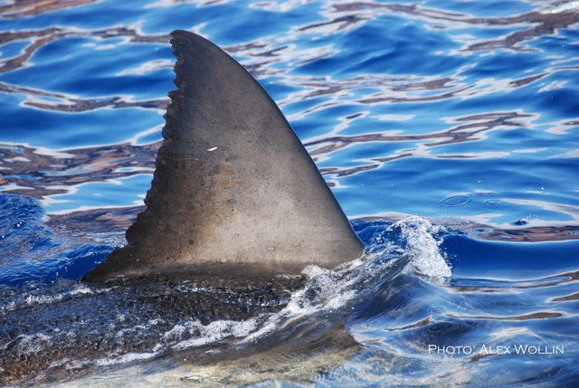 40 best shark finning images on pinterest great white for Guadalupe island fishing