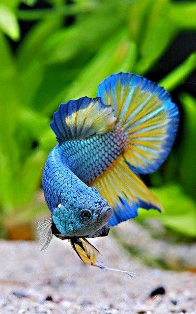 Beautiful blue yellow betta freshwater hand designed for Ebay betta fish