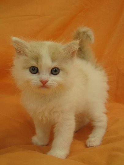 How much does a American Wirehair kitten cost?  Click the picture to read
